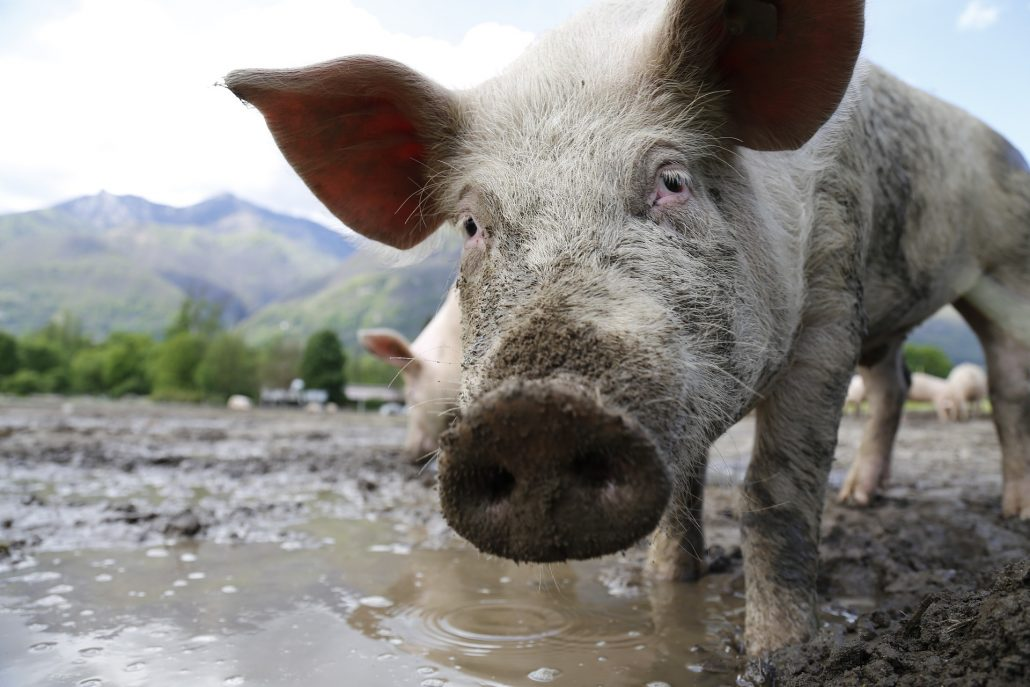 peste-porcina1